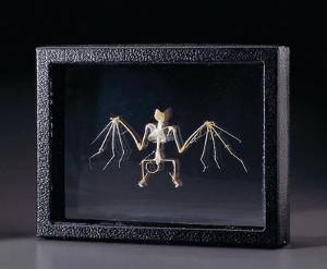 Ward's® Bat Skeleton