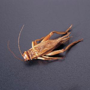 Common Cricket