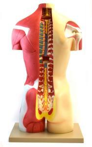 Muscular open back torso