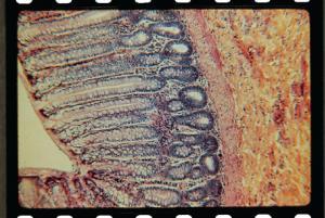 Rectum, Mammal Slide