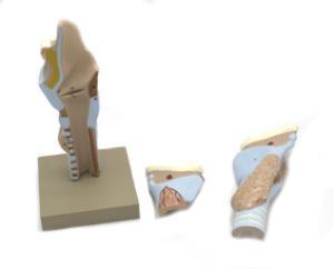 Dissectible larynx