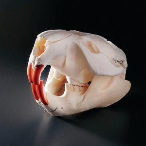 Beaver Skull, Ward's®