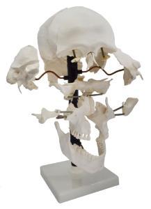 Model skull beauchene, natural