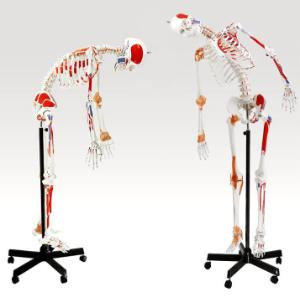 Model skeleton muscular flexible