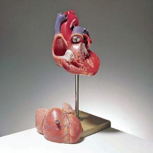 Somso® Heart Model