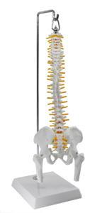 Model spinal with nerve pelvis femur