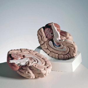 3B Scientific® Introductory Brain Model