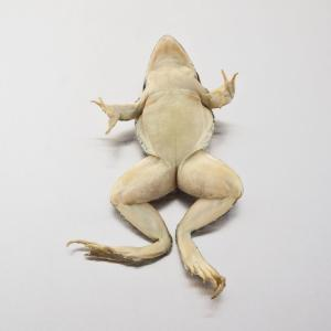 Ward's® Pure Preserved™ Grassfrogs