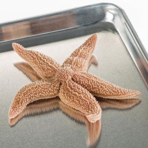 Ward's® Pure Preserved™ Starfish