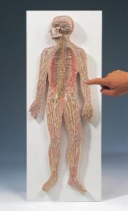 3B Scientific® Nervous System Model