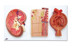 3B Scientific® Kidney Section Models