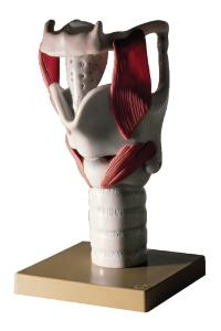 Somso® Comprehensive Functional Larynx Model