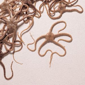 Brittle or Serpent Star