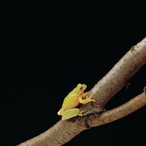 Ward's® Live Green Tree Frog (<i>Hyla sp.</i>)
