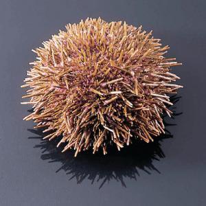 Common West Coast Sea Urchin