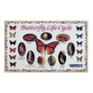 Ward's® Butterfly Life Cycle Poster