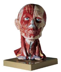 Somso® Muscular Head Model