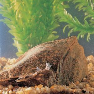 Ward's® Dwarf African Frog (<i>Hymenochirus sp</i>)