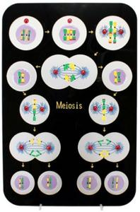 Animal Meiosis Model