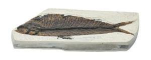Mesozoic Fish Fossil Replica