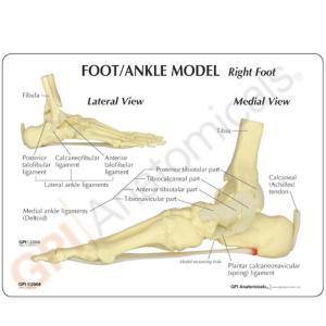 GPI Anatomicals® Basic Foot-Ankle Skeleton