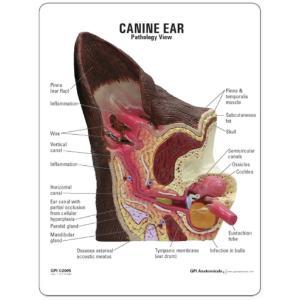 GPI Anatomicals® Canine Ear Model