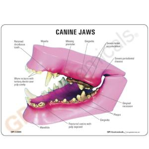 GPI Anatomicals® Canine Jaw Model