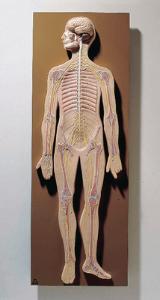 Somso® Nervous System Model