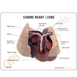 GPI Anatomicals® Canine Heart/Lung Model