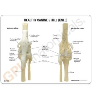 GPI Anatomicals® Canine 4-Stage Knee Model