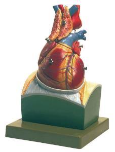 Somso® Heart on Diaphragm Model