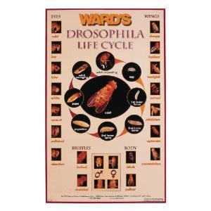 Ward's® Drosophila Life Cycle Poster