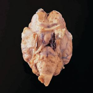 Sheep Brain with Dura Mater