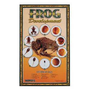 Ward's® Frog Development Poster