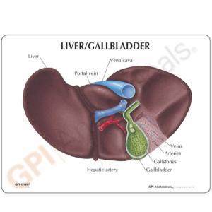 GPI Anatomicals® Basic Liver Model