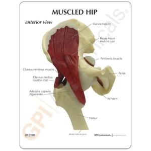 GPI Anatomicals® Muscled Joint Models