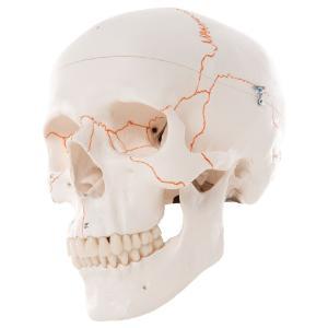 3B Scientific® Numbered Skull