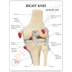 GPI Anatomicals® Basic Knee