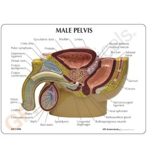GPI Anatomicals® Male Pelvis with Prostate