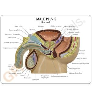 GPI Anatomicals® Male Pelvis With BPH