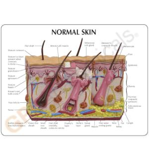 GPI Anatomicals® Skin Normal/Acne