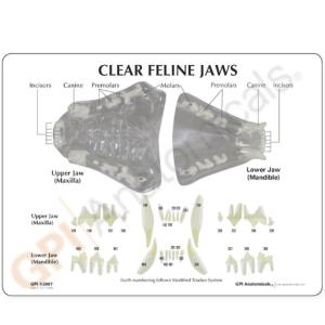 GPI Anatomicals® Clear Canine Jaw
