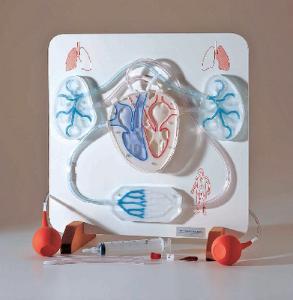 Functional Circulatory System Model