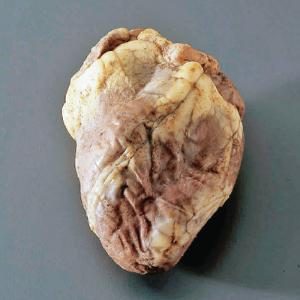 Preserved Sheep Heart without Pericardium