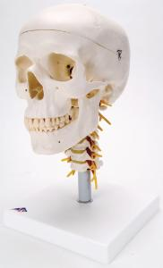 3B Scientific® Classic Skull And Cervical Spine