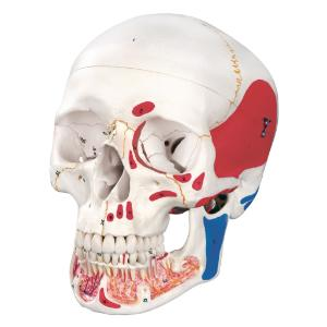 3B Scientific® Numbered Skulls With Open Dentition