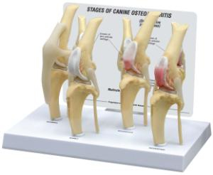 GPI Anatomicals® Canine 4-Stage Knee Model