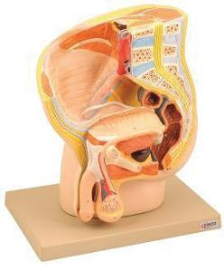 Eisco® Male Pelvis Model