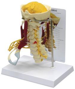 GPI Anatomicals® Muscled Cervical Spine