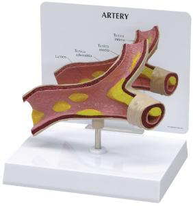 GPI Anatomicals® Introductory Artery Model